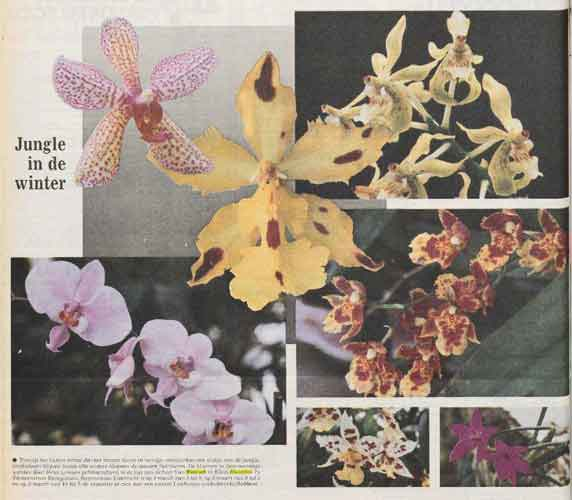 piet-orchidee